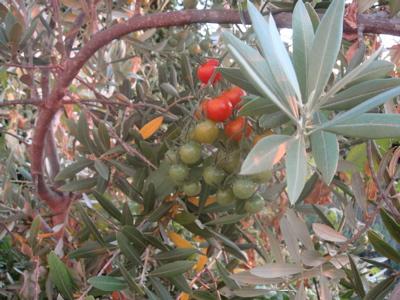 pomodori e olive